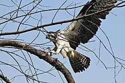 osprey_landing_contest.jpg