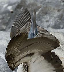 pointing_booby_bird.jpg