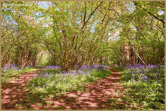 Bluebell_Woods-DSC_4528