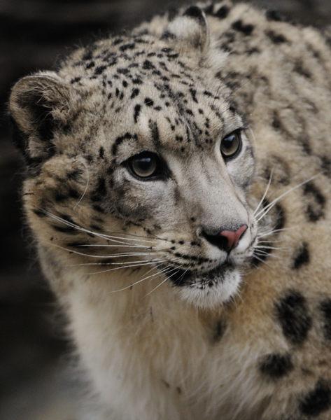 hagen_090510_0128_SnowLeopard