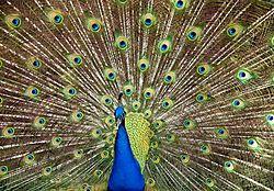 051509_3401_peacock2_copy_600_x_417_.jpg