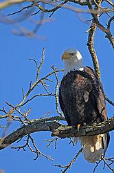 Bald_Eagle9.jpg
