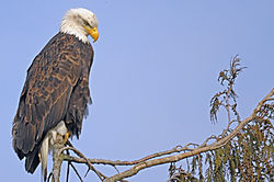 Eagle2jpg.jpg
