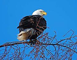 Eagles_09_copy.jpg