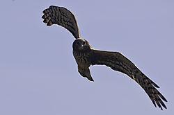 Northern_Harrier.jpg