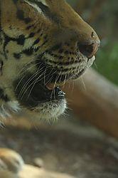 tiger_7.jpg