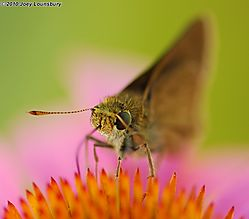 European_Skipper0000.jpg