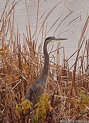 Great-Blue_Heron_in_Reedswtmk.jpg