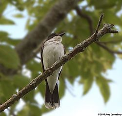 Eastern_Kingbird0000.jpg