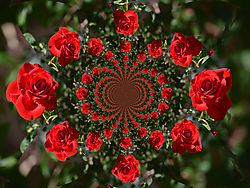 DSC_0337_roseA.jpg