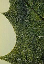 Leaf13.jpg