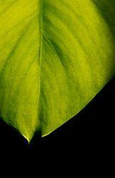 Leaf31.jpg