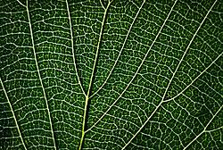 Leaf41.jpg