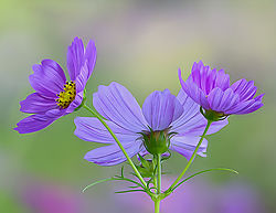 MM_Flower_Contest_2_Purple_Daisy.jpg