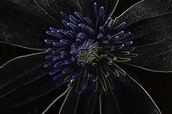 glowing_clematis.jpg