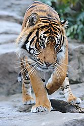 Wildlife_-_Tiger_1.jpg