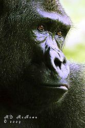 Gorilla-12.jpg