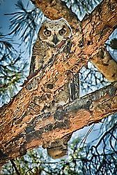 D700_owl_in_pine.jpg