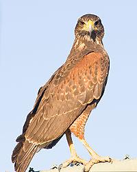 Hawk_full_view.jpg