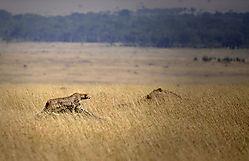 Cheetah-poised-Mara_09.jpg
