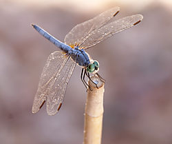 Dragonfly19.jpg