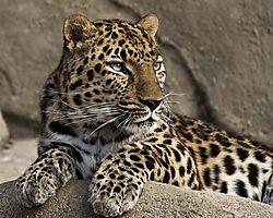 Leopard_090208.jpg