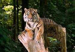 MLH2604_Tiger_final3.jpg