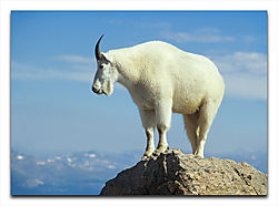 Mountain_Goat_View.jpg