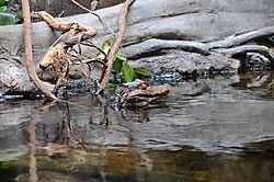 Oregon_Zoo_04-25-09_023_resize_gator.JPG