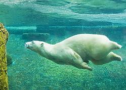 PolarBearSwim_resize.jpg