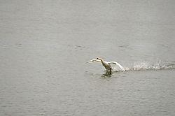 Swan_landing.jpg