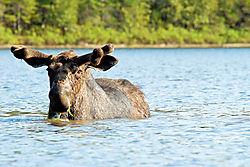 moose5-1.jpg