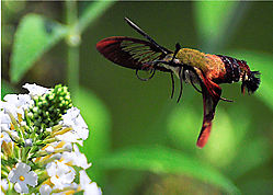 hummingbird_moth1.jpg