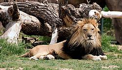 KING_LION1_DARK.jpg