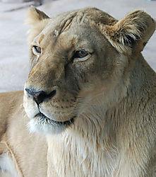 LION_HEAD_OBLIQUE.jpg