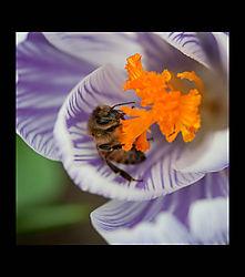 Crocus_Bee.jpg