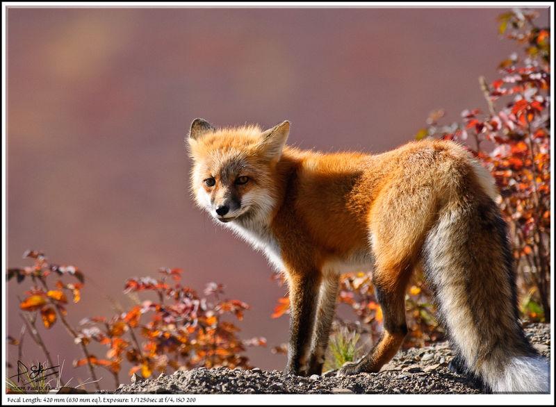 Red Fox by Paul Ekman (pdekman)