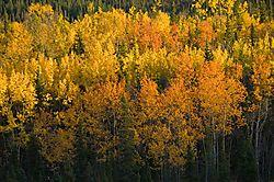 Hines-Creek-aspen_4934-L.jpg