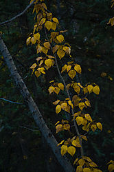 yellow-leaves_4928-L.jpg