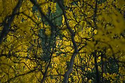 willow-leaves-n-branches_4950-m.jpg