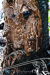 Burnt-out-Stump-1800wtmk.jpg