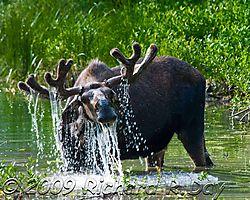 Moose-1213wtmk.jpg