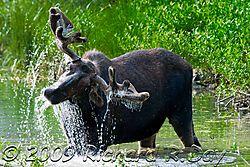 Moose-1214wtmk.jpg