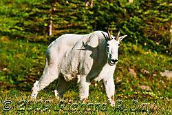Mt_-Goat-2179wtmk.jpg