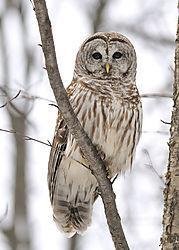 Owl_barred_DSC1508.jpg