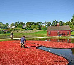 cranberry_harvest_at_willowbend.JPG