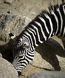Zebra_Head_Shot.JPG