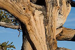 Eastern-Sierra_Bristlecone-.jpg