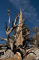 Old_Tree1.jpg