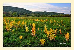 Milkweed-Autumn1.jpg